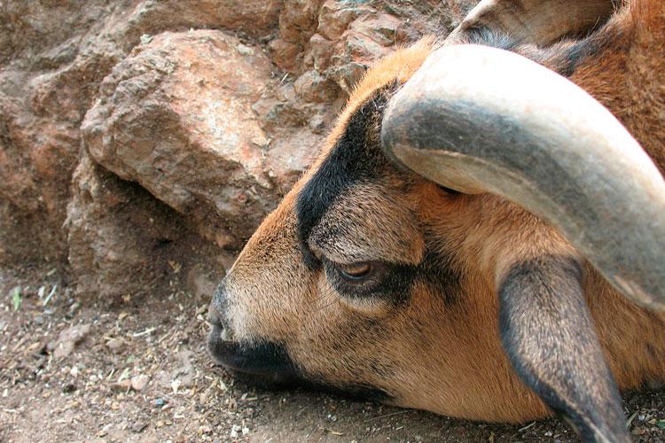 Мертвый баран - толкование сна